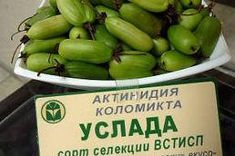 саженцы актинидии коломикта Услада купить