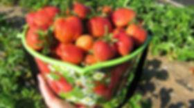 Новейшие сорта клубники в Беларуси