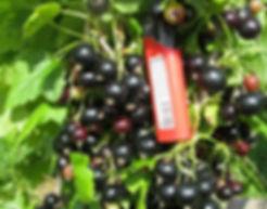 Сорта смородины с фото и описанием |  Ксения | видео сорта Ксения
