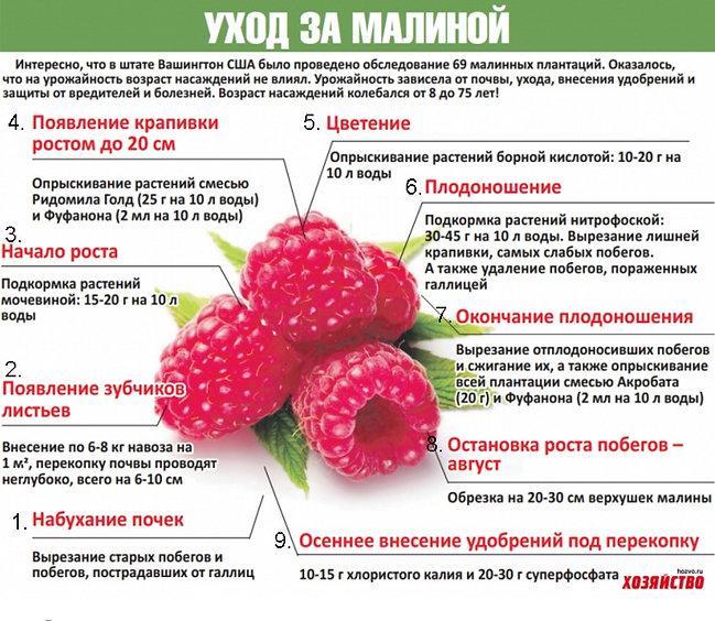 Как ухаживать за малиной весной, летом, осенью. Как получить отличный урожай малины.