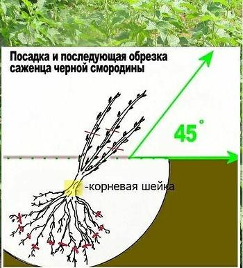 купить саденцы смородины в Бедаруси