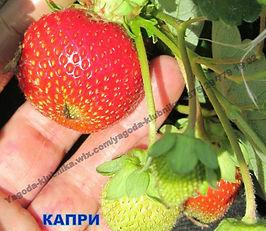 Купить саженцы клубники Каприв Минске