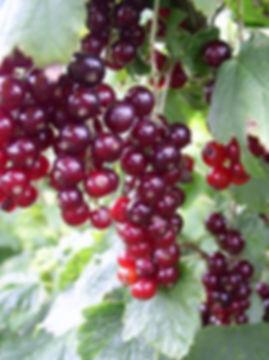 купить саженцы красной смородины Улюблена в Минске, отправка почтой по Беларуси и РФ. +375 29 7791992