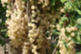 Саженцы смородины белой Снежана купить в Минске +375 20 779 19 92