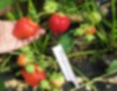 Купить саженцы клубники Дарселект в Минске