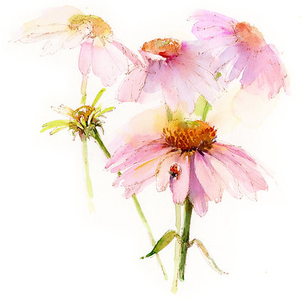 Echinacea w/Lady Bug Botanical - Prints