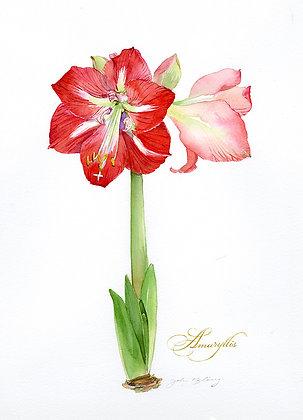 Red Amaryllis - Prints