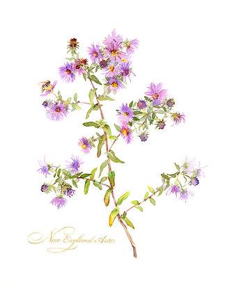 New England Aster Botanical