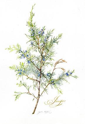 Juniper Branch - Prints