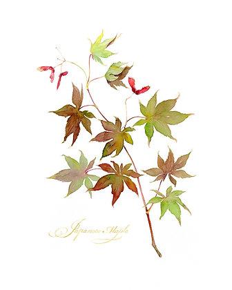Japanese Maple Botanical - Prints