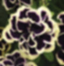 petunia_midnight_gold_edited.jpg