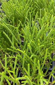 Crassula muscosa (Princess Pine or Lizard's Tail)