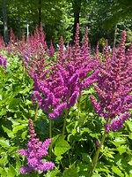 21-6-29-Astilbe Little Visions in Purple.jpg