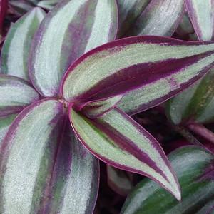 2020-01-10- Purple Tradescantia