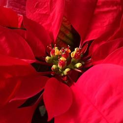 Poinsettia 'Prestige Red'
