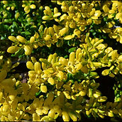 Ilex-crenata-'Drops-of-Gold'.jpg