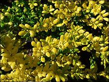 Ilex-crenata-'Drops-of-Gold'.jpg