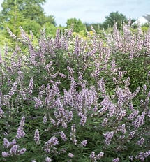 Vitex_Pink_Pinnacle_habit_001_edited.jpg