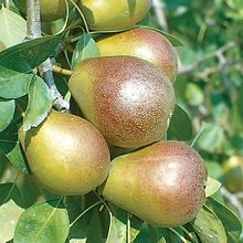 seckel pear.jpg