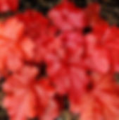 Heuchera-Fire-Alarm-2_edited.jpg