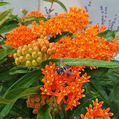 Everyone loves #milkweed! Not only do th