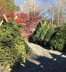 2016-11-30-Christmas trees.jpg