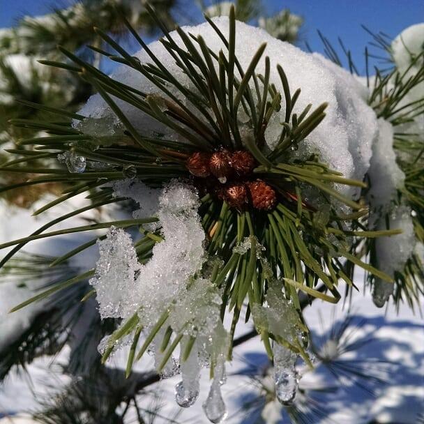 2017-12-10 Pinus nigra