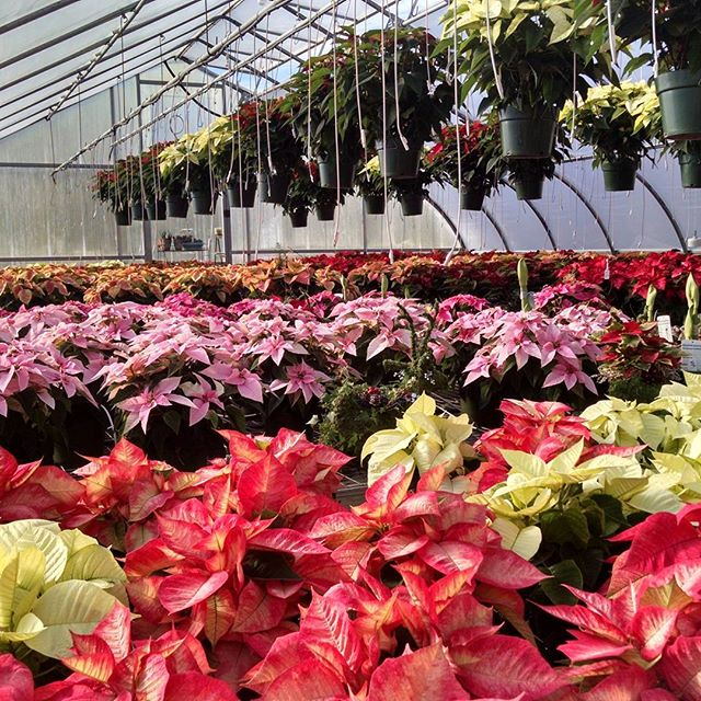 Poinsettias!