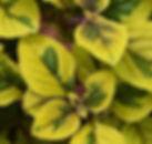 plectranthus guacamole_edited.jpg