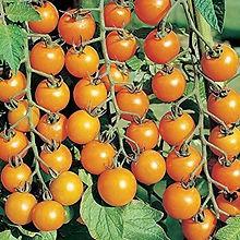 Sun-Sugar tomato.jpg