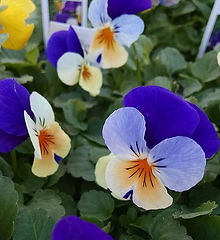 We still have pansies left, but they're