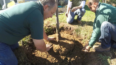 (Video) How to Plant Large Ball and Burlap Tree with Bill