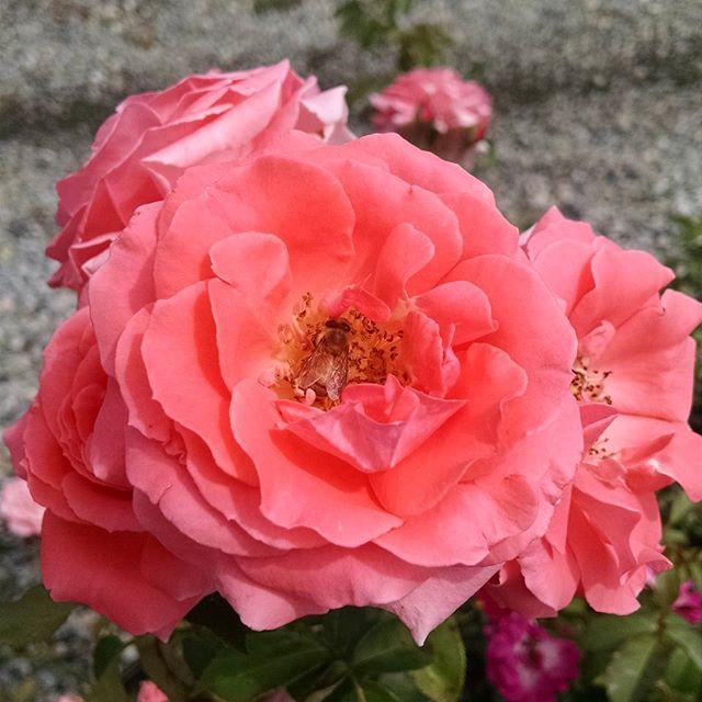 Rosa 'America'