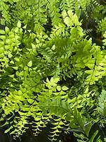 2021-7-13-maidenhair fern.jpeg
