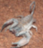flat rock scorpion