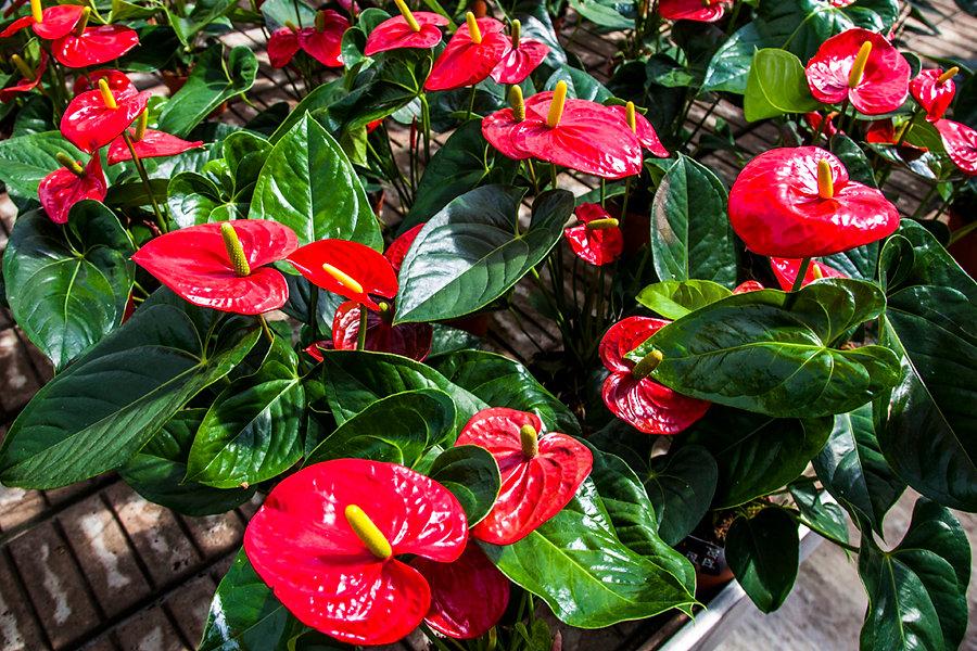 Plantas De Interior Anturio. Rosa Antrio. Poto Planta De Interior ...