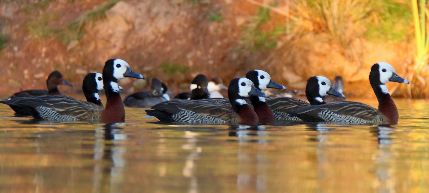 White faced whistling ducks.JPG