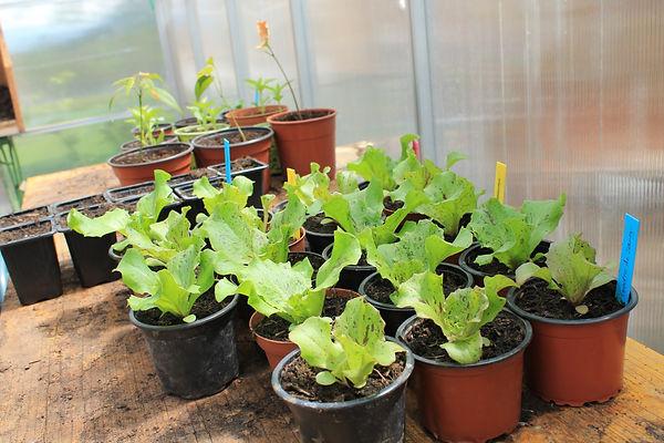 Plantons de salade Goutte de Sang Artisan Jura - Plantedegraine
