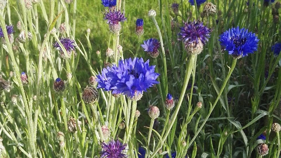 Bleuet - Centaurée - graines