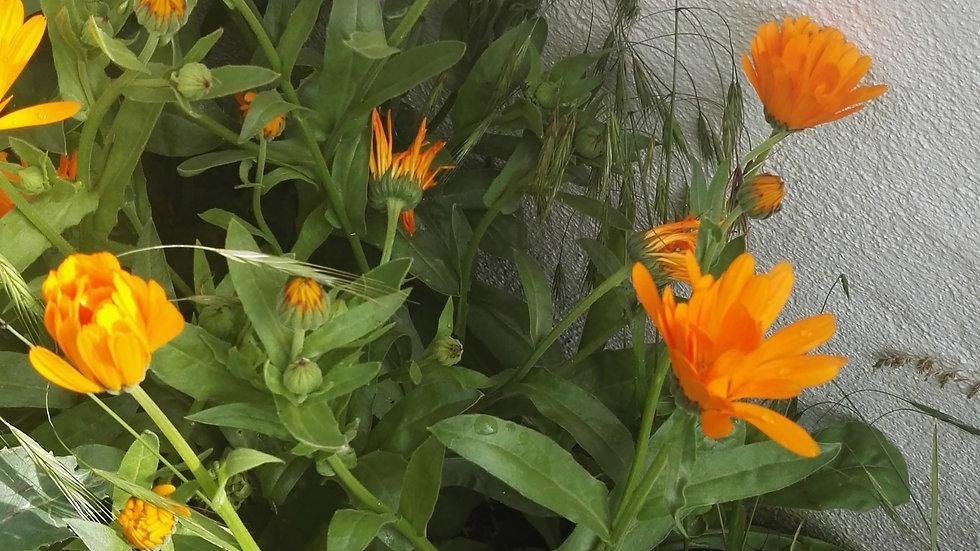 Souci des jardins - Calendula - graines