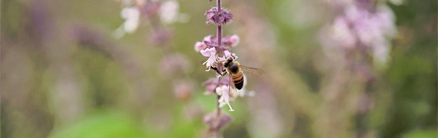halls lavender bees honey hives
