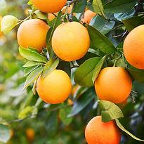 halls citrus
