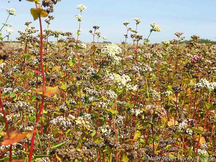 Buckwheat-flowers_1024x1024.jpg