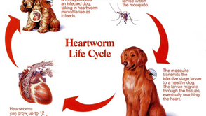 Heartworm: why your dog needs prevention.