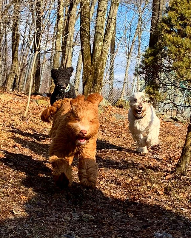 All of the pups love running in the fenc