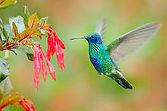 Humming Bird Graceful_edited.jpg