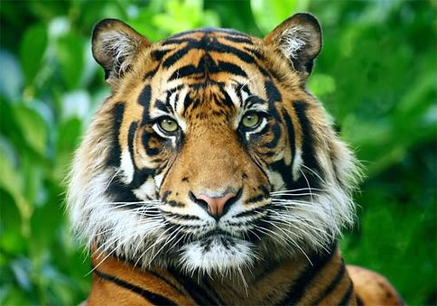 South-China-tiger-Pictures.jpg
