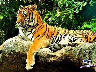tigers-18a.jpg