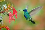 Humming Bird Graceful.jpg