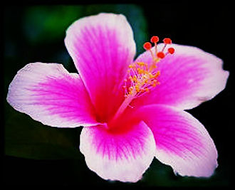 Hawaiian white & pink_edited_edited.jpg